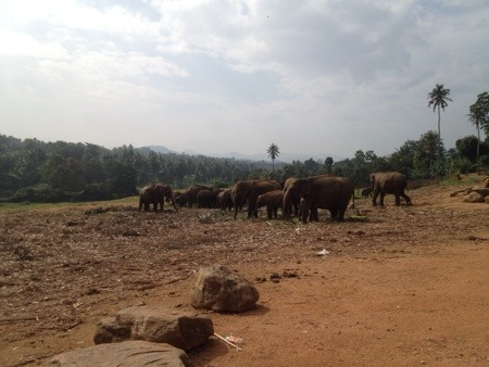 Pinnawela elephant orphanage