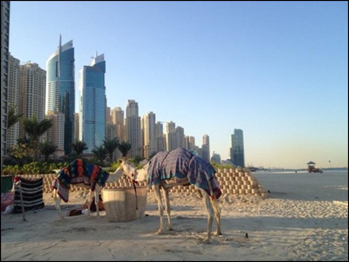 Dubai kameler