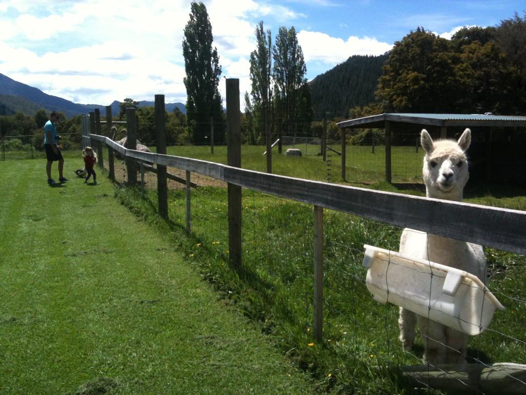 nya zealand - alpackas