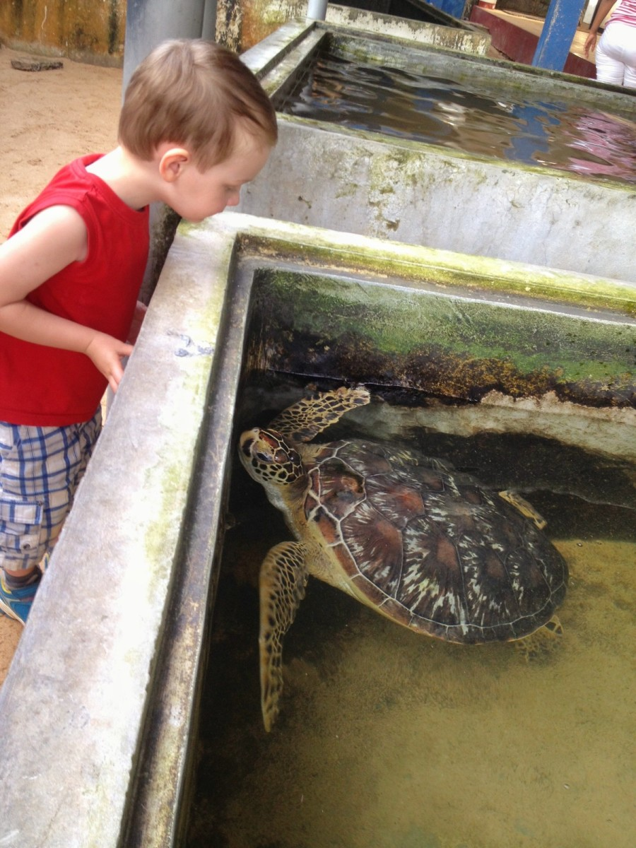 sköldpaddor sri lanka