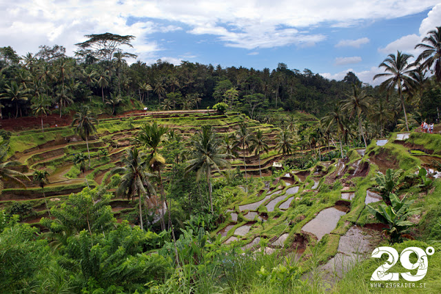 Tegalallangan-Rice-Terrace_29grader