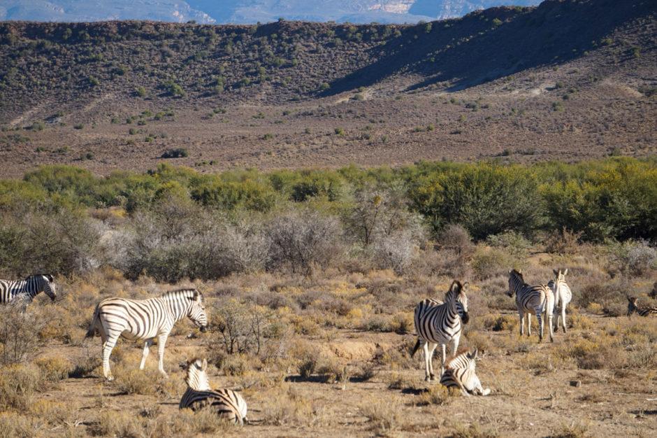 bra-safari-nära-kapstaden-sanbona-wildlife-reserve-29