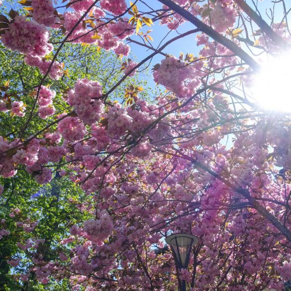 rosa blommor uppsala