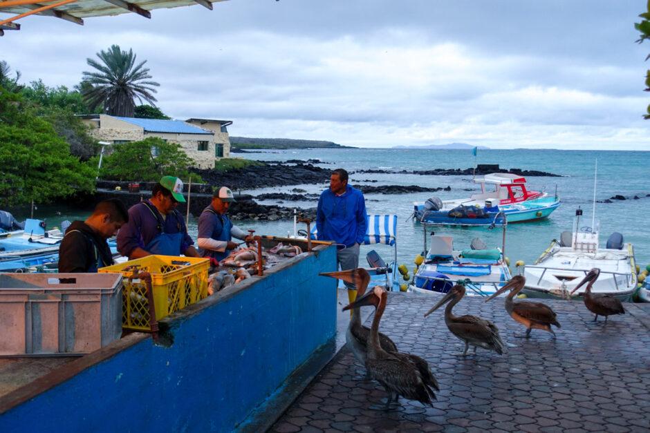 galapagosöarna santa cruz isabela-5